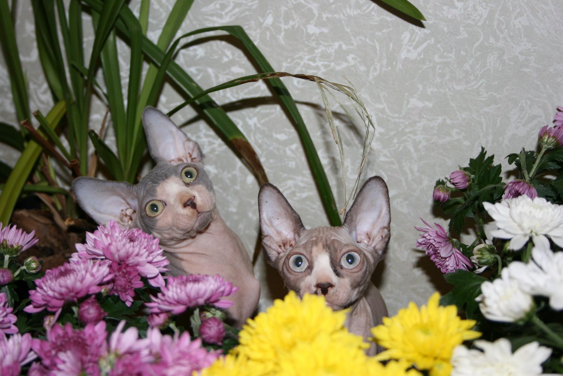 Котята канадского сфинкса, мальчик и девочка
